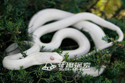 55米白蟒遭砍头 无头尸体引争议